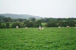 Shetland X Romney Lamb Rack of Ribs (Whole Breast)