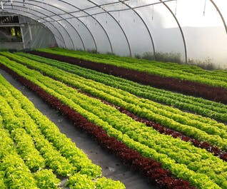 Organic Mixed Lettuce Leaves