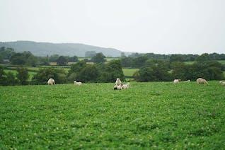 Shetland X Romney Lamb Rump