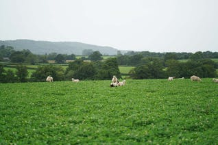 Shetland X Romney Lamb Ribs