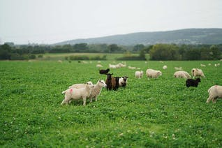 Shetland X Romney Lamb Mince (25% Fat)
